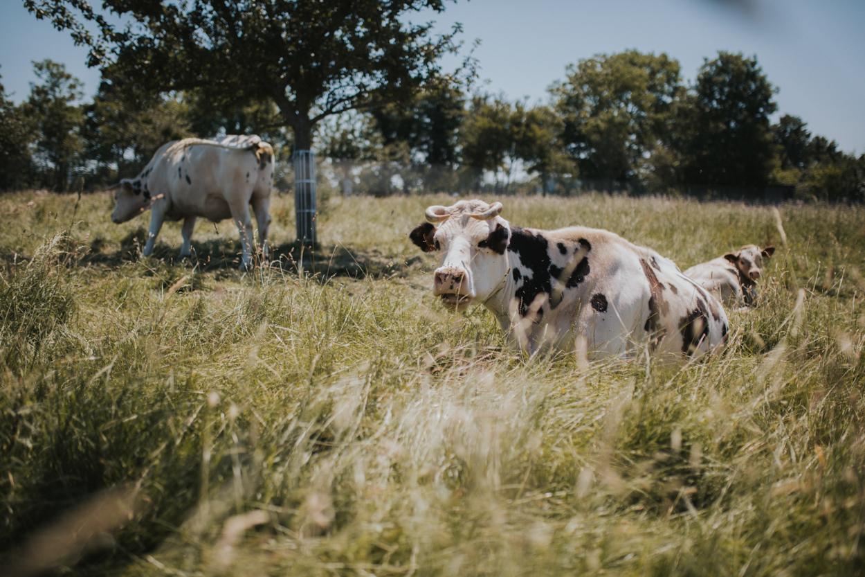 manoir bleu vaches normandie pays auge