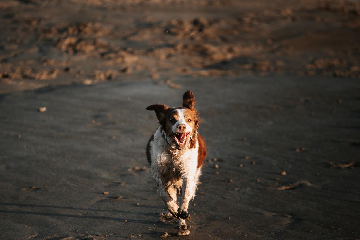 Epagneul en pleine course séance lifestyle famille chiens à la plage