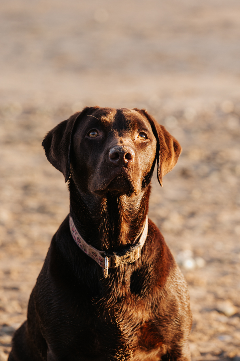 Labrador chocolat plage