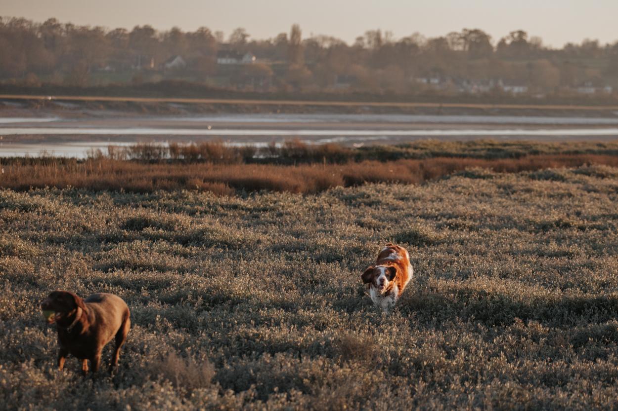Epagneul et labrador Pointe du Siège estuaire de l'Orne